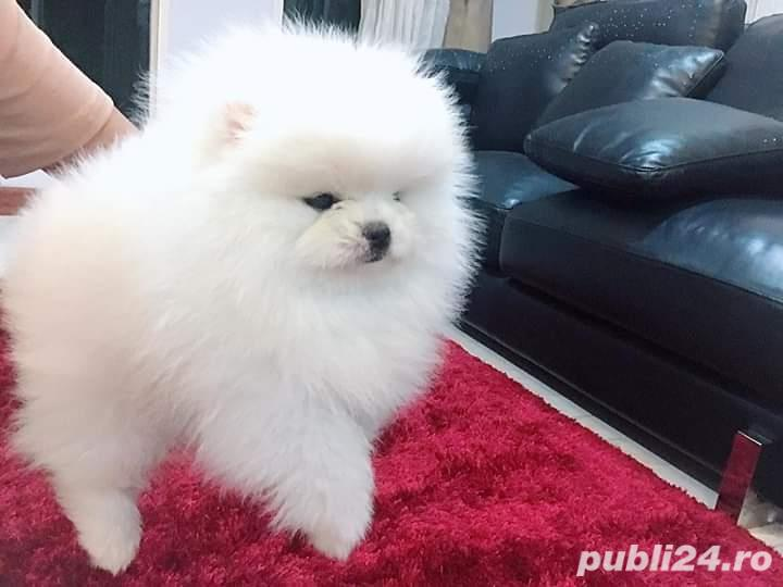 Pomeranian alb boo toy poze reale