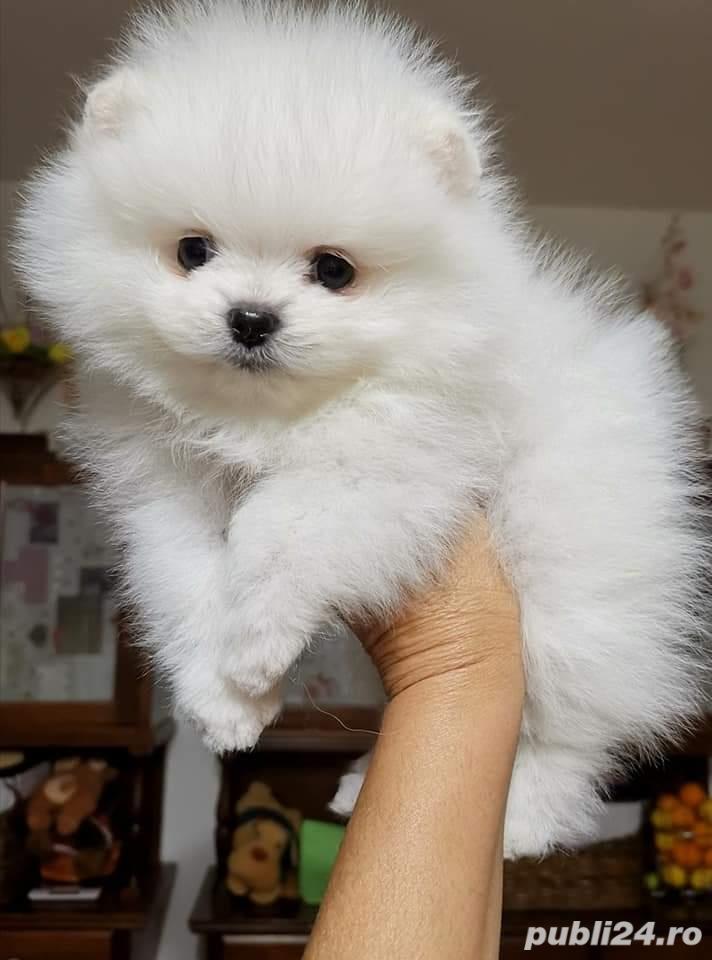Pomeranian Alb poze reale