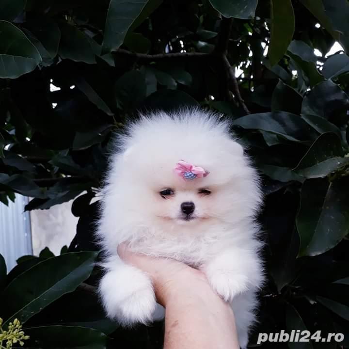 Pomeranian toy alb