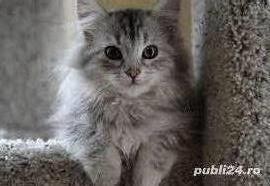 Pisicute maine coon