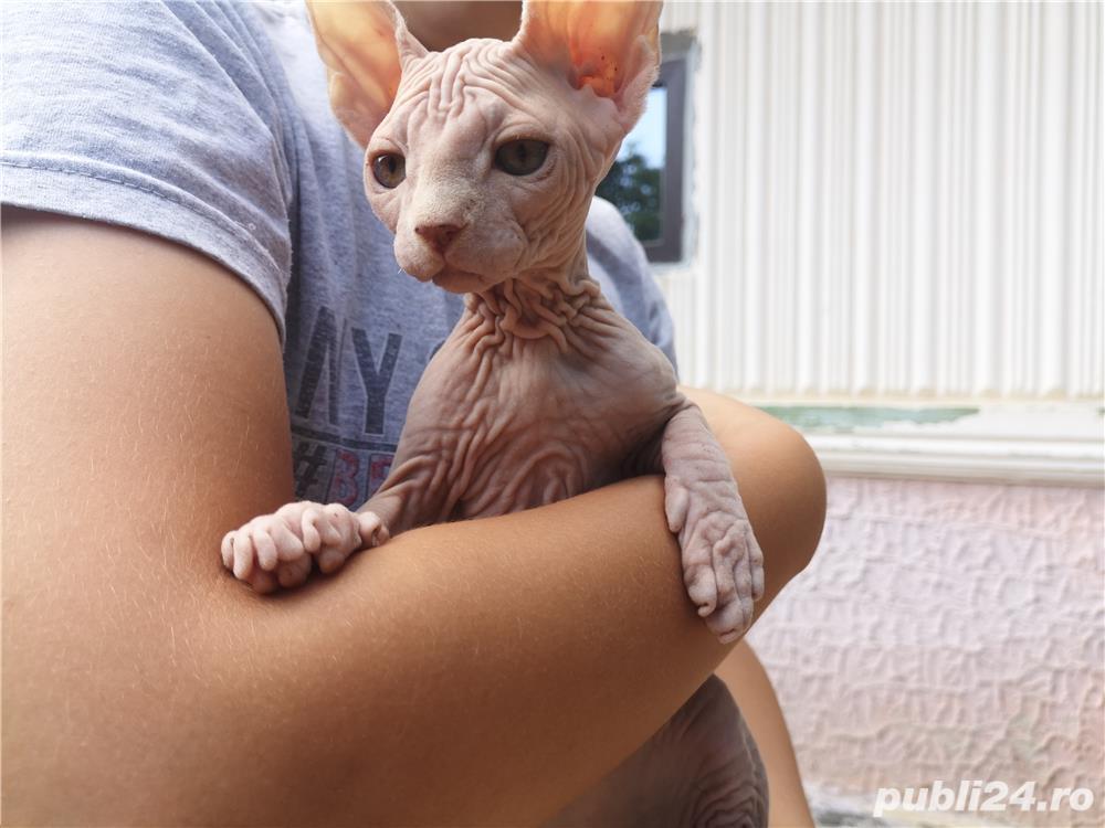 Pisica sfinx