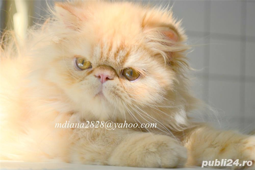 Pui persan Turtit Red Tabby !!!