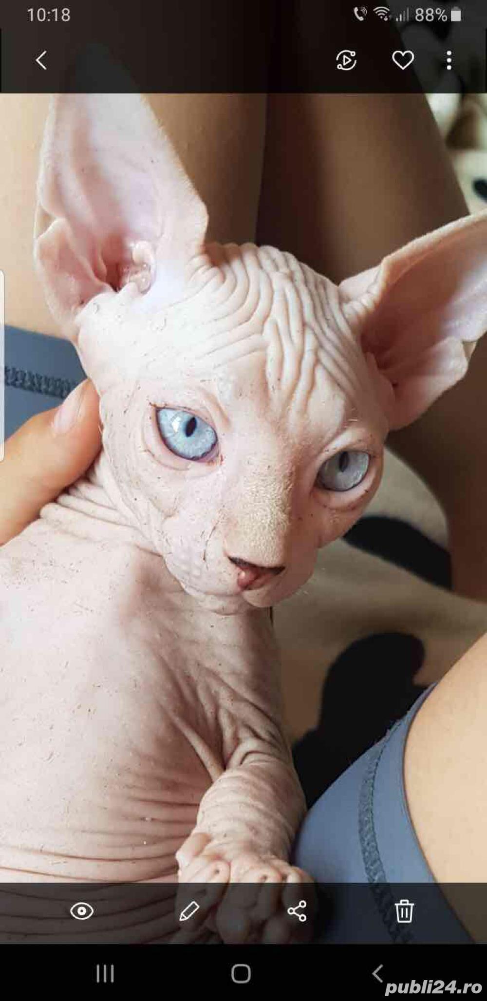 Pisica sphynx sfinx