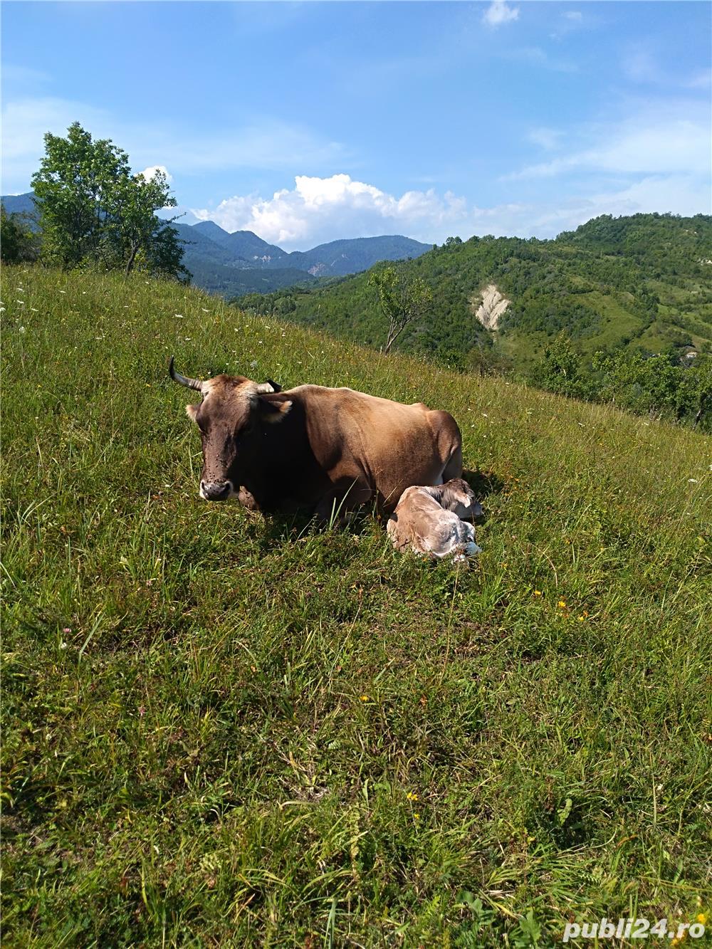 Vaca de vânzare