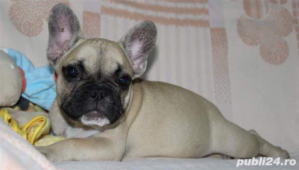 Pui Bulldog Francez de calitate