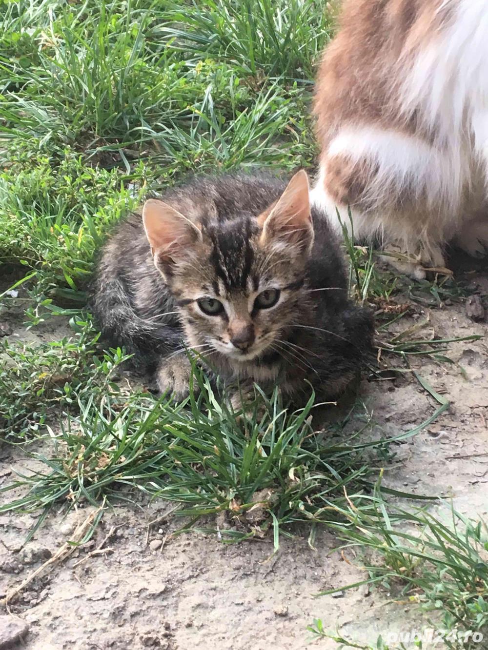 Pisici,Motani