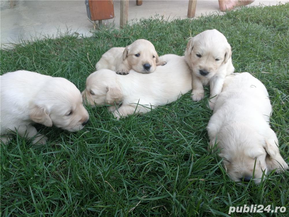 Vând pui Labrador Golden Retriever