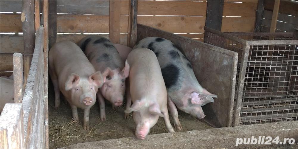 Vand porci in viu sau sacrificat