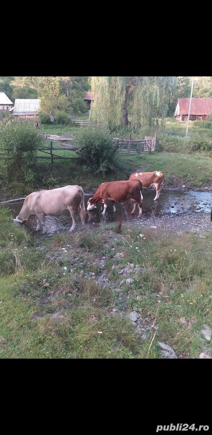 Vaci de vanzare
