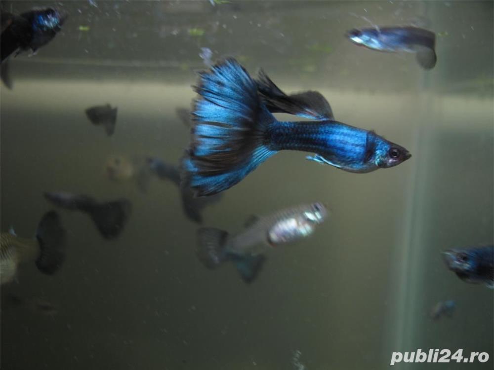 Guppy blue moscow