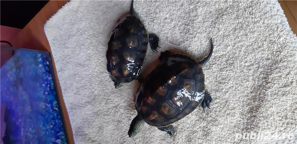 Broscuțe țestoase