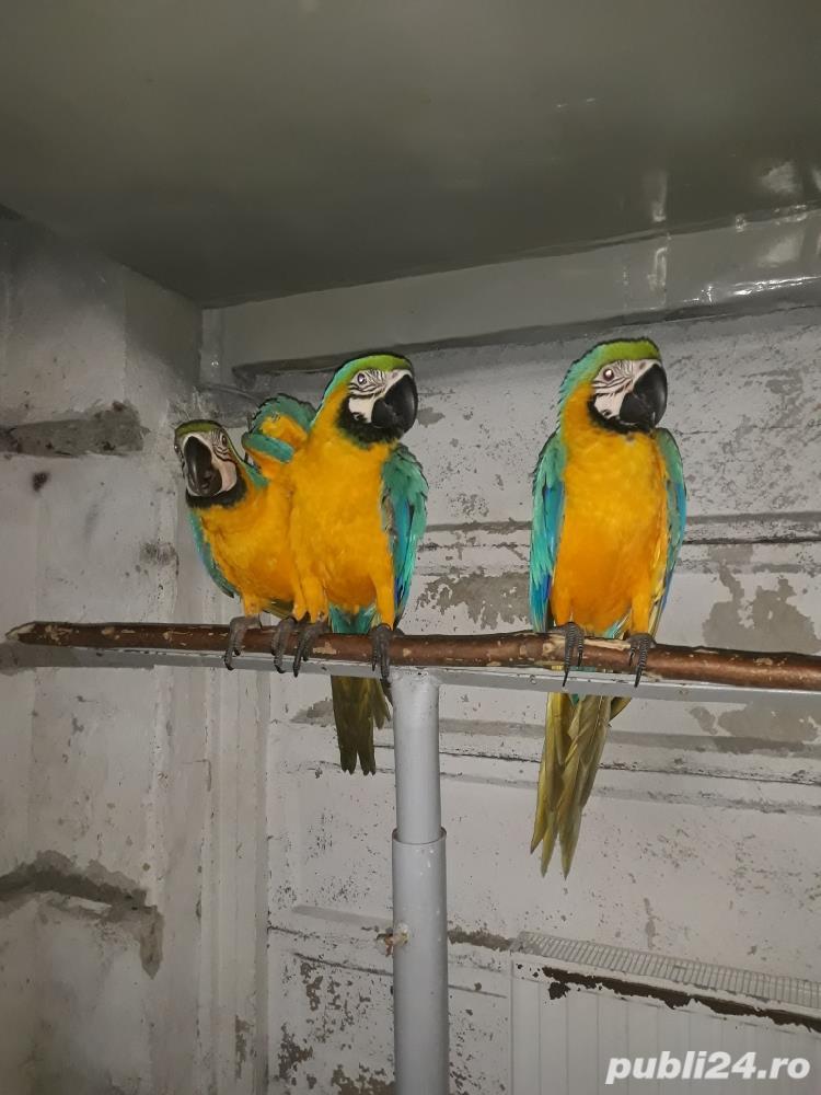 Papagal araarauna de vanzare