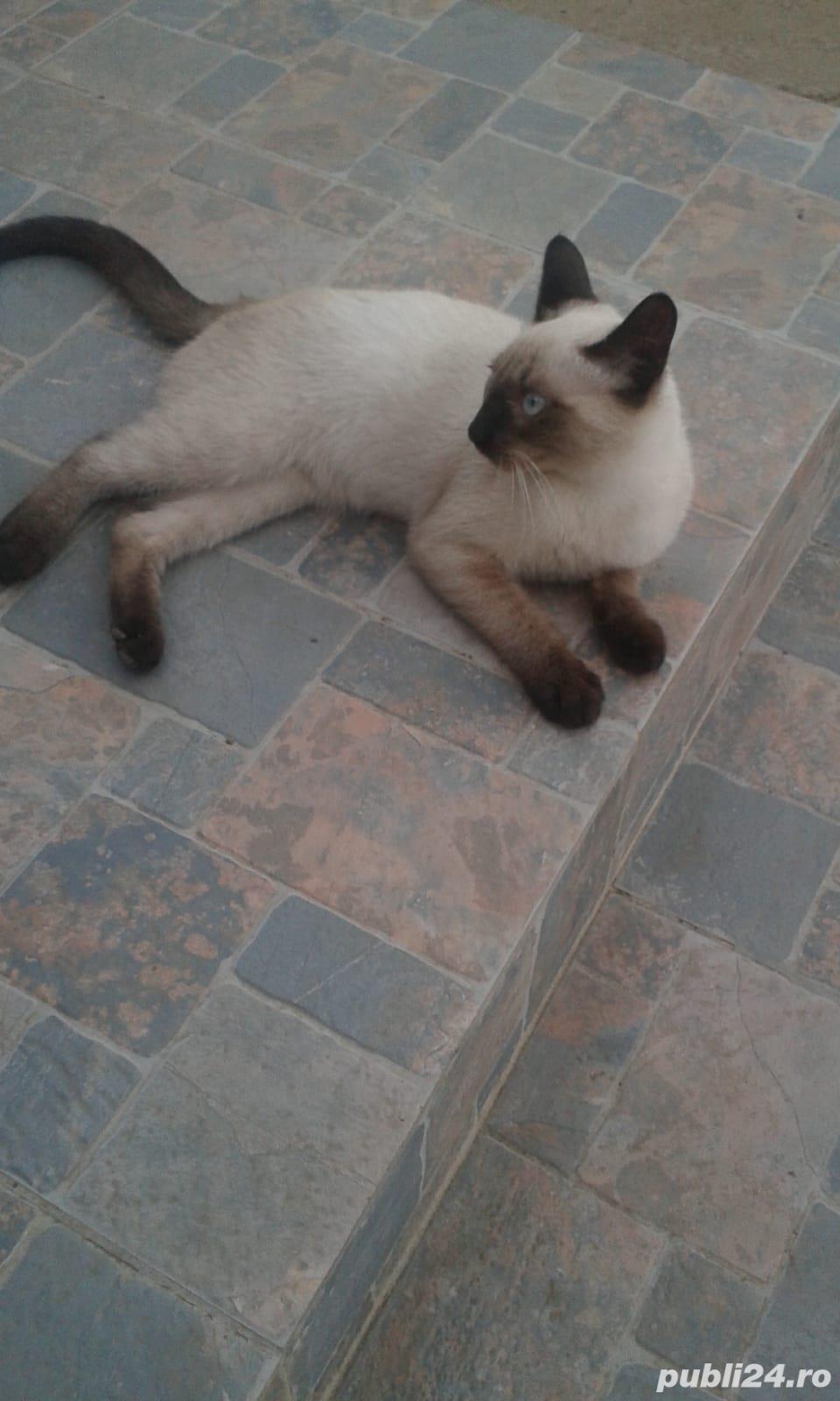 Vand pisica Birmaneza pret 200 lei