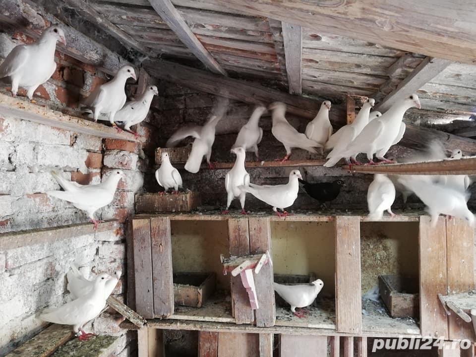 porumbei postasi albi schimb cu găini.