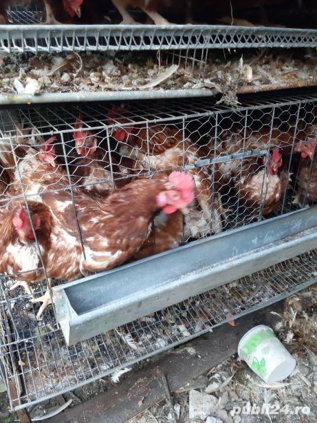 Urgent 40 găini ouatoare