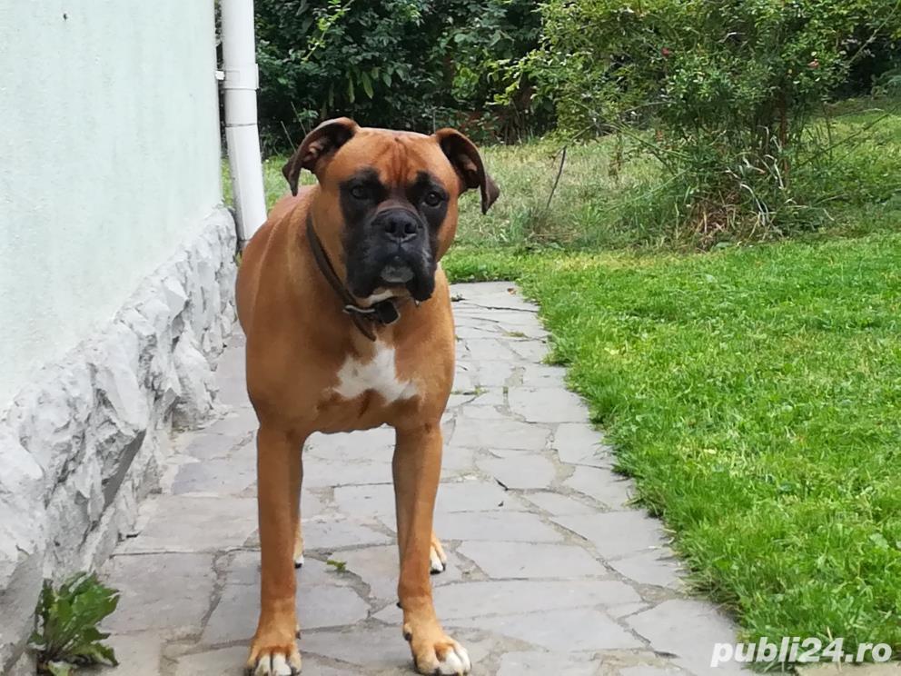 Boxer mascul talie mare