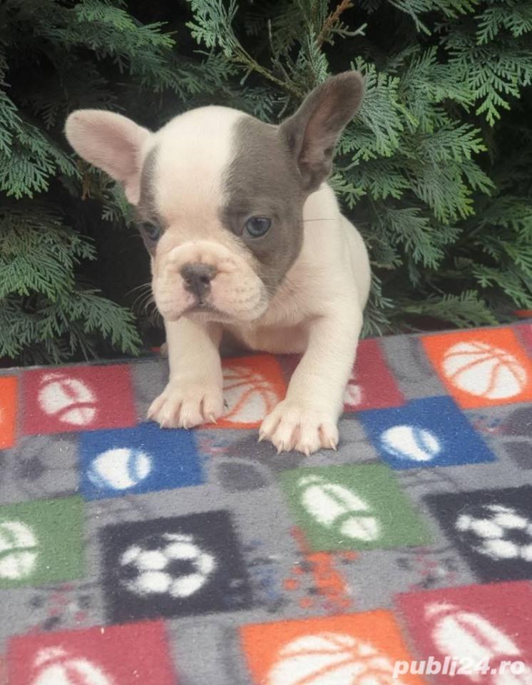 Pui de buldog bulldog francez alb blue/alb albastru/alb gri