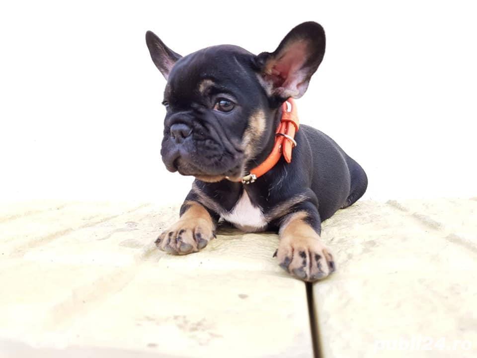 Pui de bulldog buldog francez black and tan black&tan