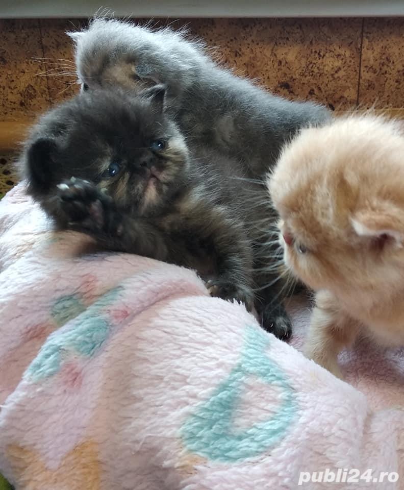 pisicute persane calitate