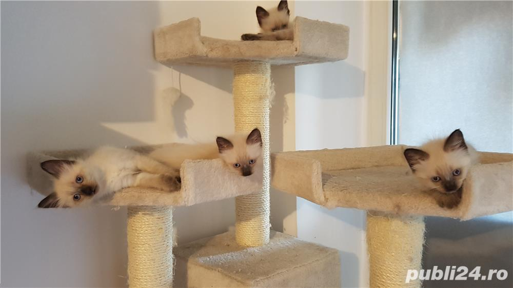 Pui pisica birmaneza, birmanezi