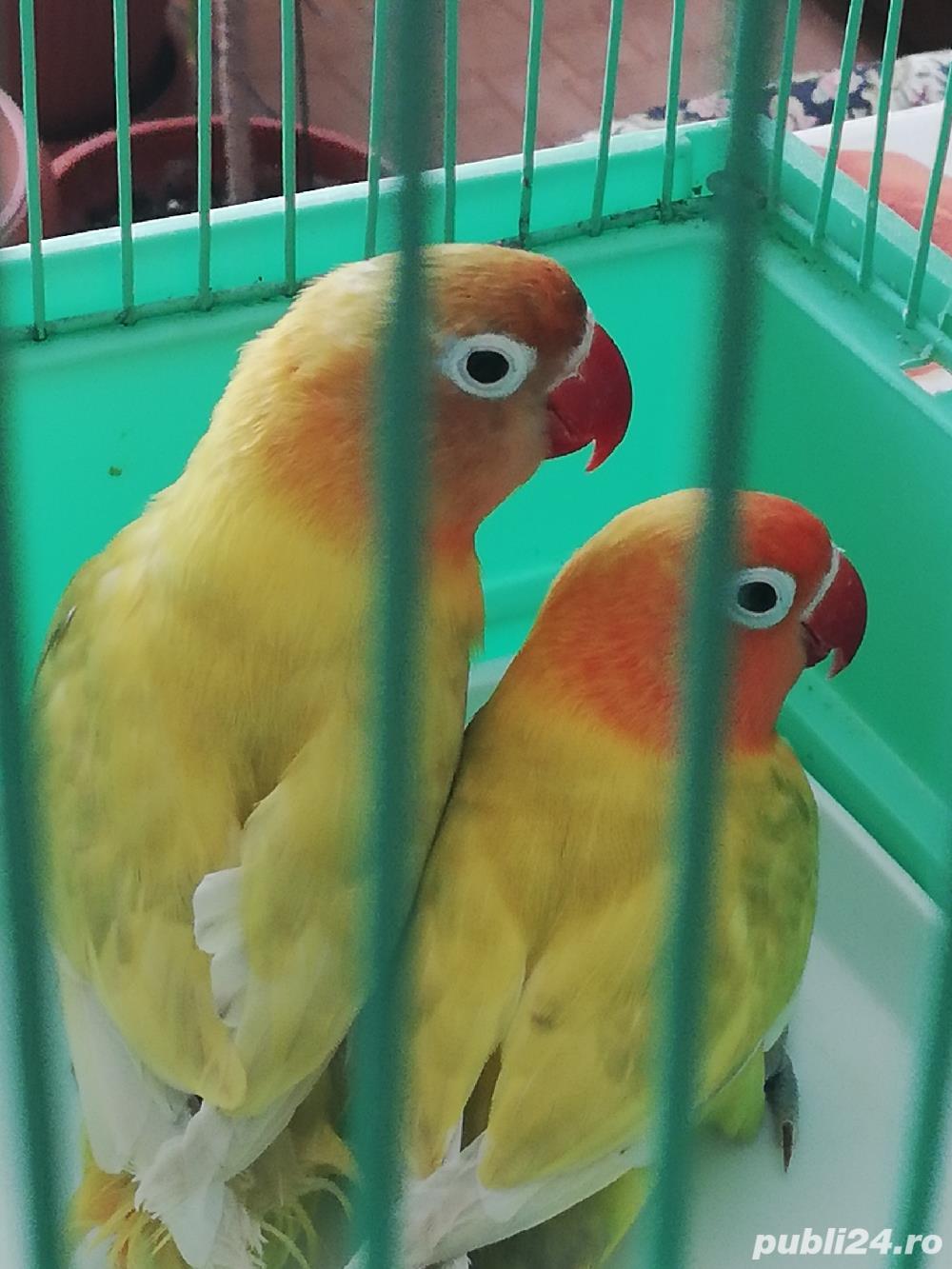 Pereche papagali agapornisi