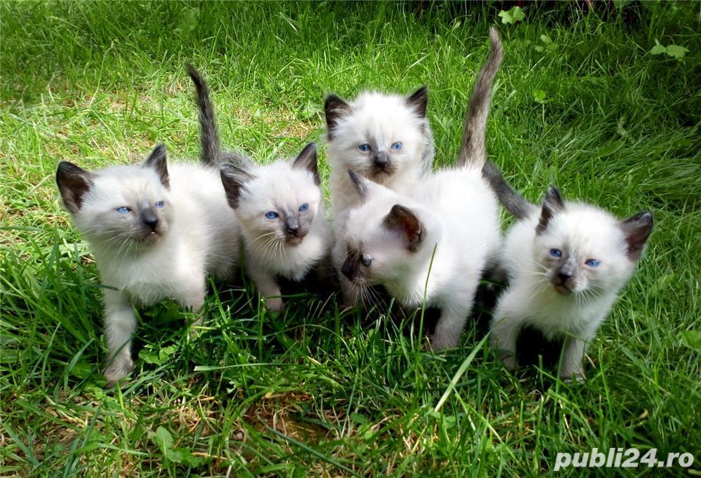 Pisica Birmaneza - Siameza