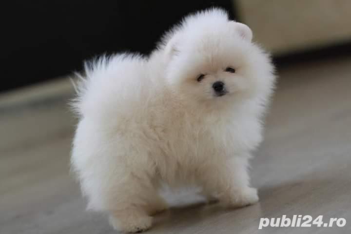 Pomeranian boo Albii teacup