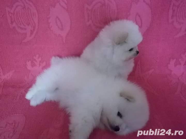 Pomeranian teacup albii purr