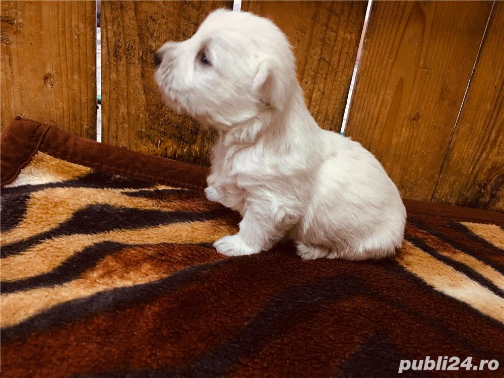 Catei Westie (White Terrier)