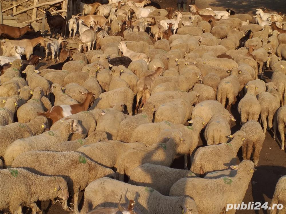 vand urgent 50 de oI   de rasa tigaie merinos talie mare  100 EURO BUCATA