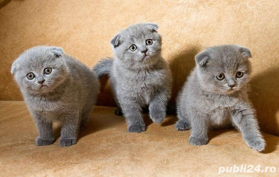 Pui scottish fold!