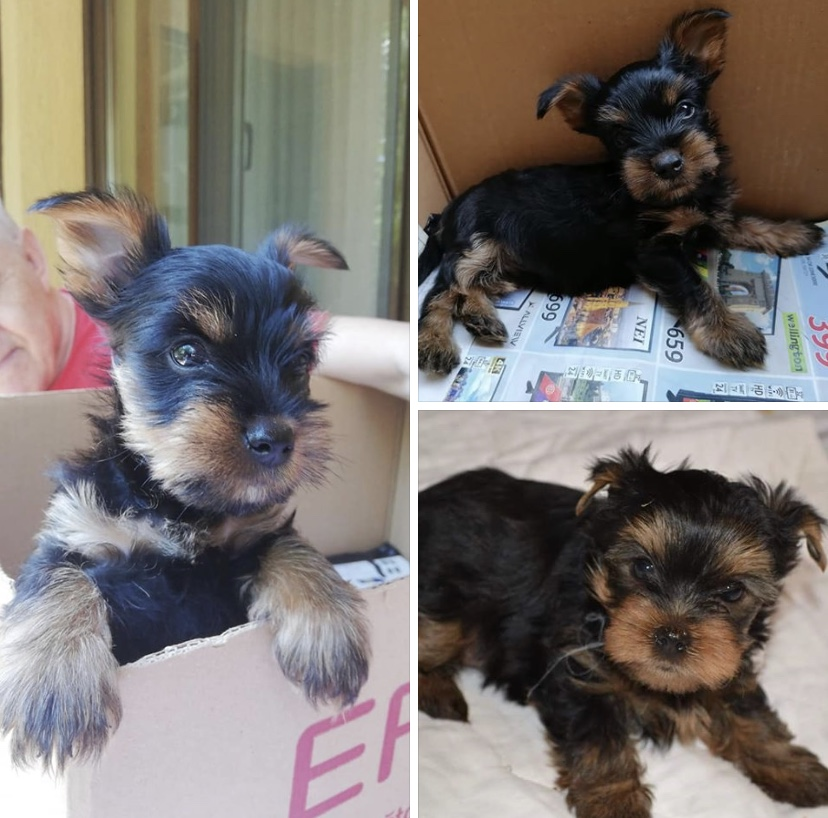 Vand pui Yorkshire Terrier