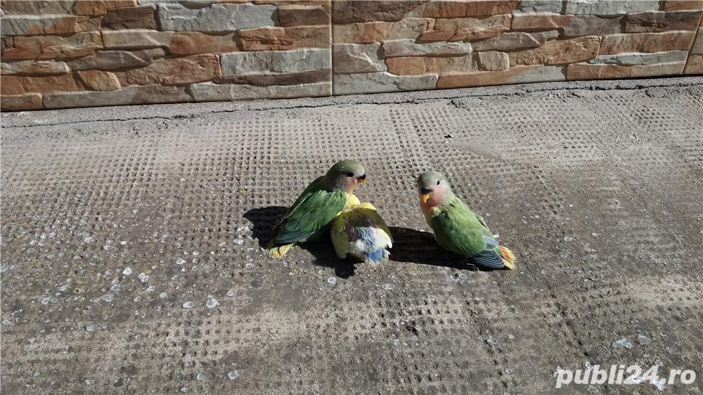 Vand papagali agapornis amorezi