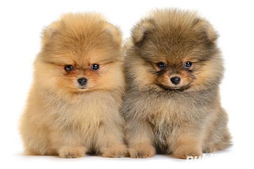 Pomeranian talie mica de vanzare- rasa pura- livrare in tara