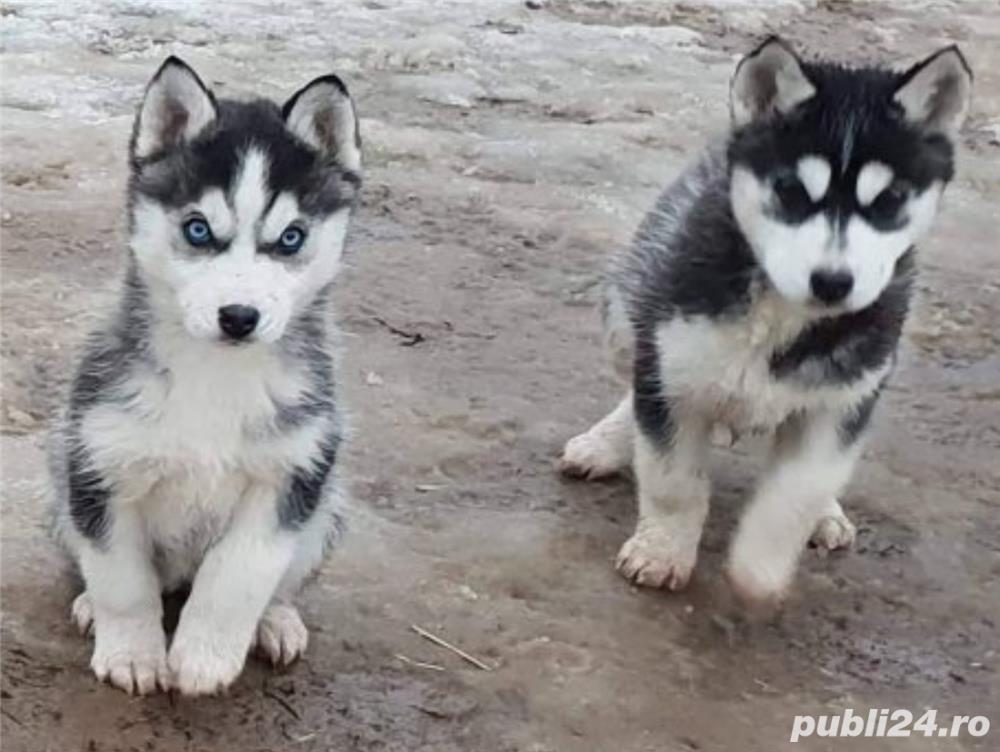 Husky de vanzare- 2 ochi albastri- rasa pura- livrare imediata la Iasi