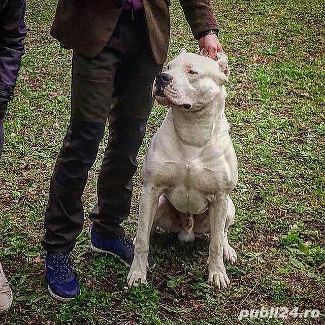 Pui Dogo Argentino - Dog Argentinian Pedigree, Contract