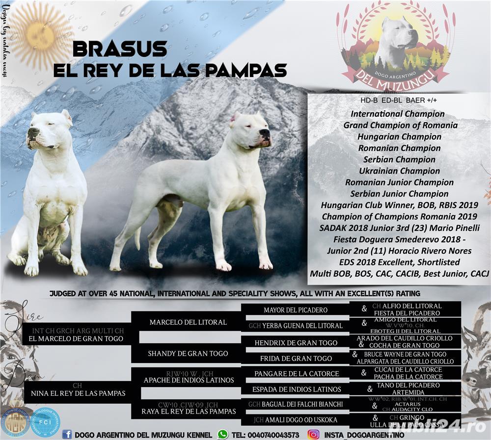 Mascul deosebit Dog Argentinian Dogo Argentino