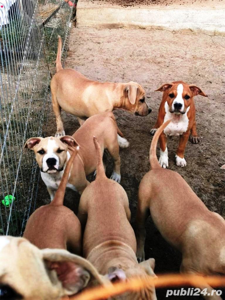 American Staffordshire Terrier - Amstaff