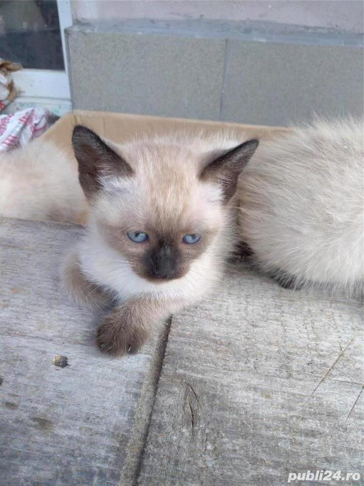 Vând pisici birmaneze rasă pură