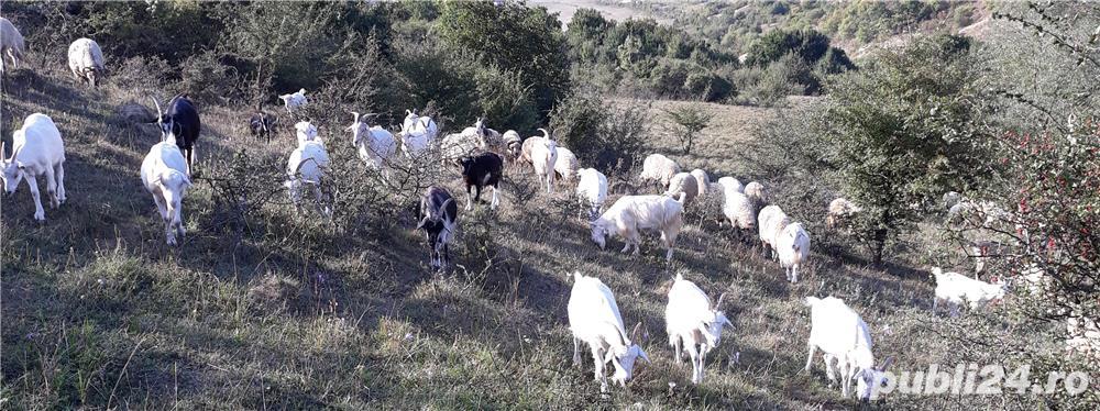 vând 200 capre metis sannen
