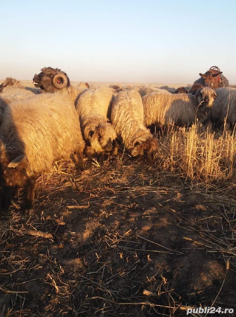 Vind 200 de oi