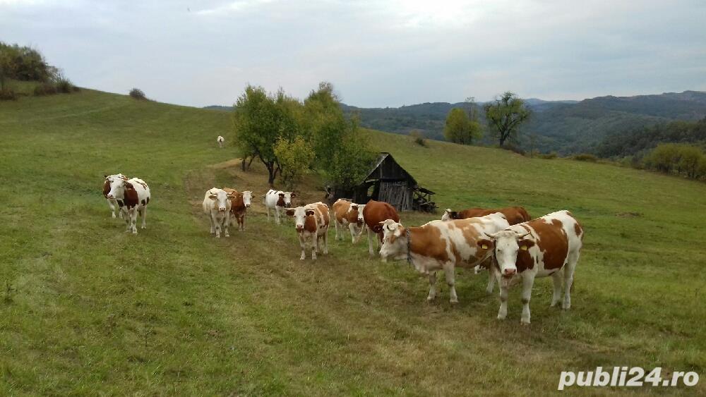 Vând vaci bălțata românească