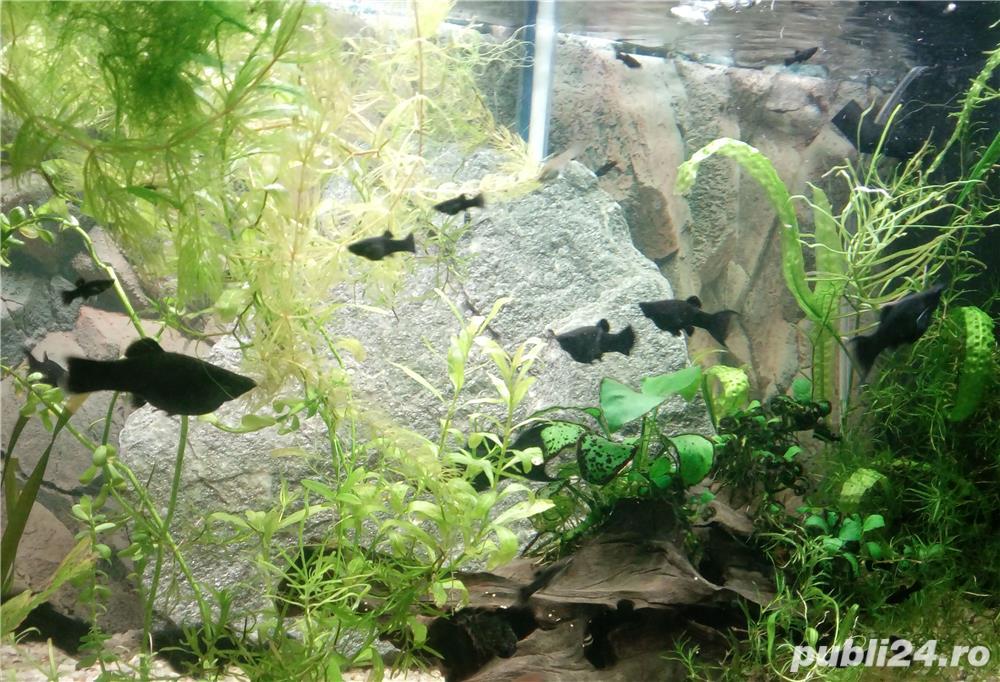 Pesti de acvariu - moly black si dalmatian
