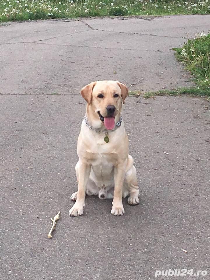 Labrador retriever - monta