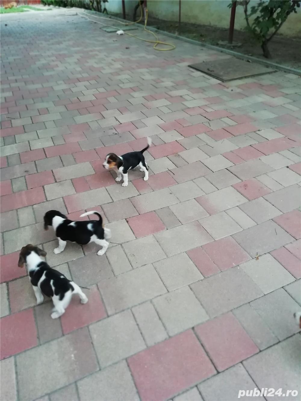 Vând căței Beagle, 2 luni, vaccinați și deparazitați