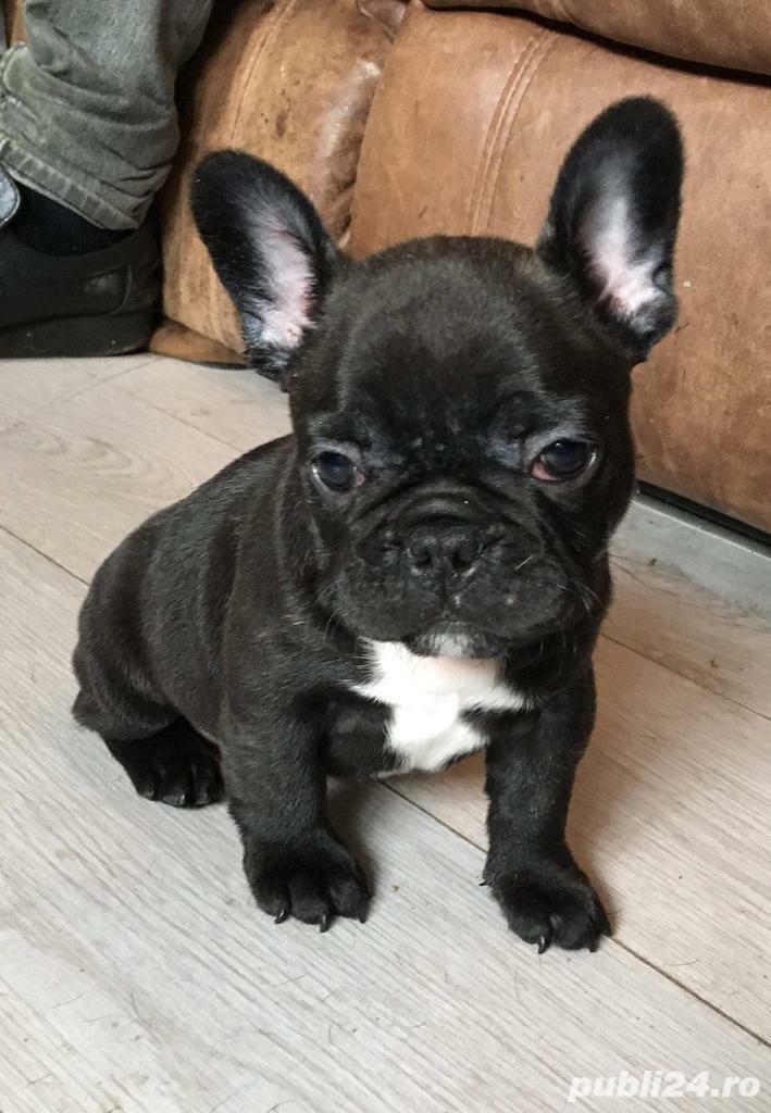 Bulldog Francez, 2 luni, mascul si femela