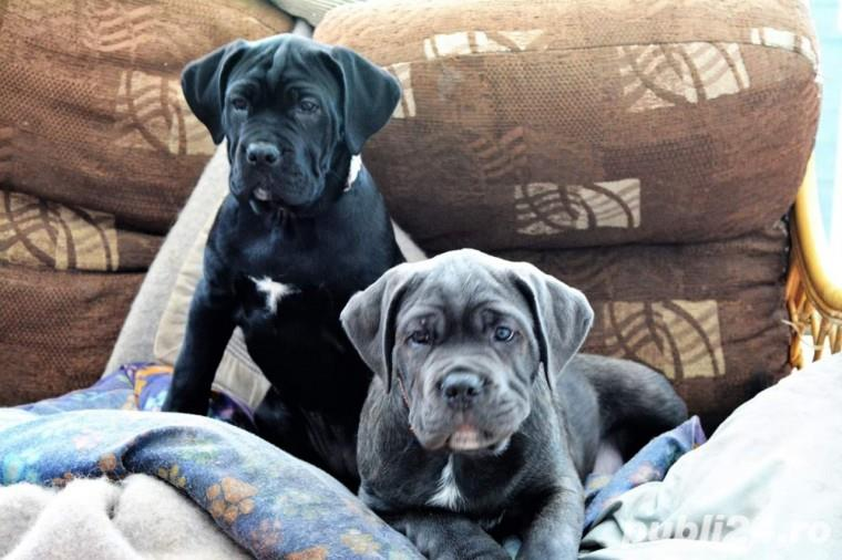 Cane Corso negri si gri la varsta de 2 luni