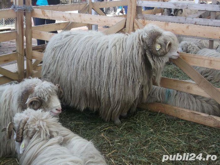 Vand oi, preț negociabil