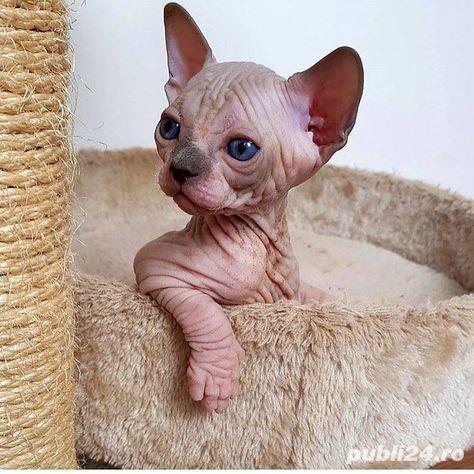 Sfinx, pisica fara par, 2 luni