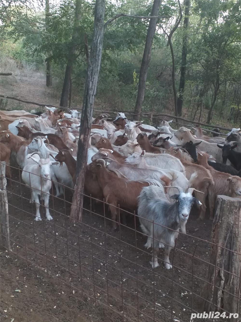 vand urgent 40 de capre si 3 tapi de rasa carpatina ( se vand toate impreuna)
